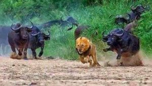 lion-buffalo